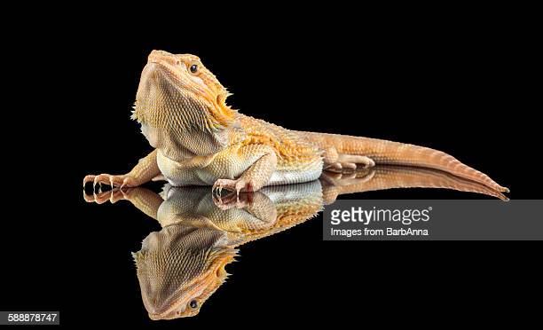 Bearded Dragon with Reflection