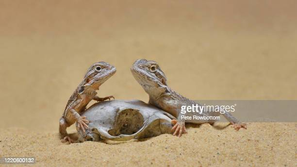 bearded dragons - bearded dragon stock pictures, royalty-free photos & images
