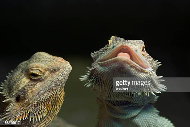 bearded dragons - two