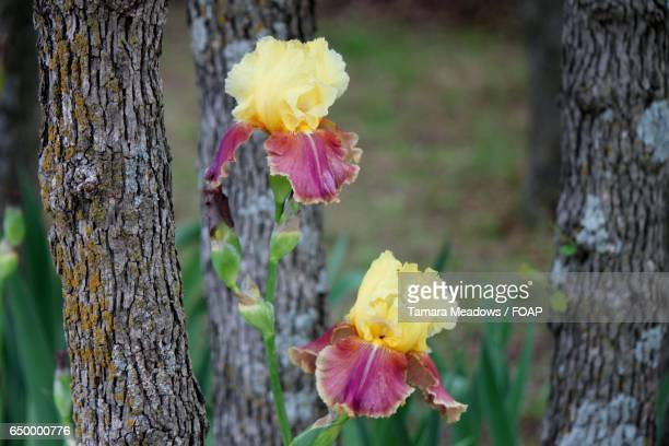 bearded iris blooming at outdoors - bearded iris stock pictures, royalty-free photos & images