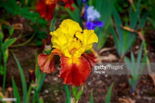bearded iris flower - bearded iris stock photos and pictures