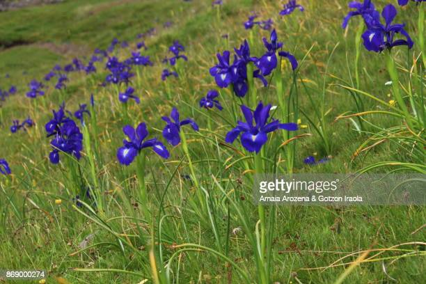 bearded iris flowers in pyrenees - bearded iris stock pictures, royalty-free photos & images