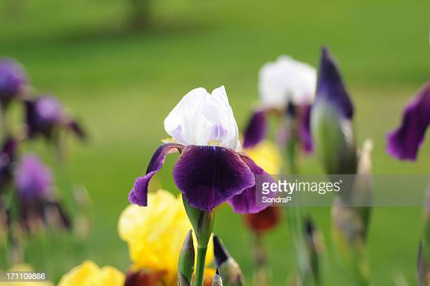 bearded iris garden - bearded iris stock pictures, royalty-free photos & images