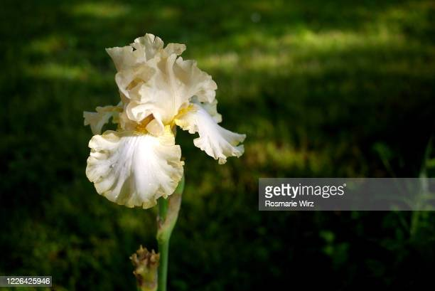 bearded iris in garden, sunlight - bearded iris stock pictures, royalty-free photos & images