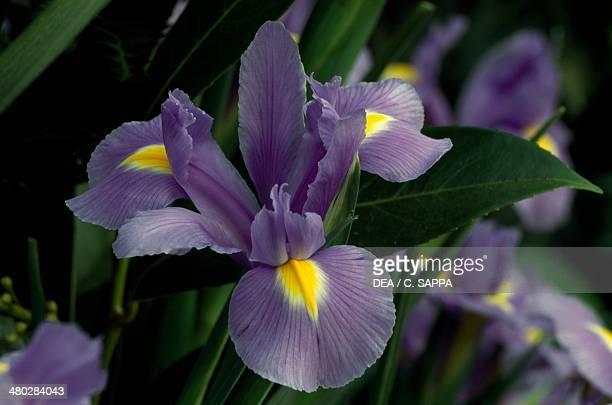 Bearded Iris Iridaceae