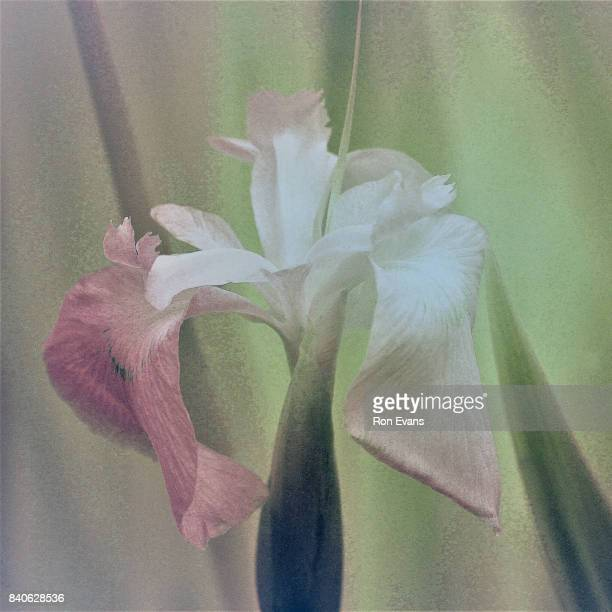 bearded iris - bearded iris stock pictures, royalty-free photos & images