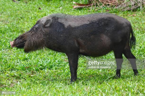 Bearded pig (Sus barbatus), Bako National Park, Sarawak, Borneo, Malaysia