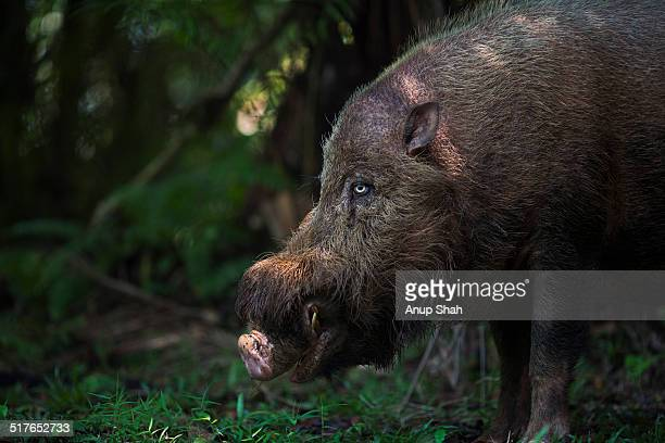 Bearded pig foraging on the forest floor