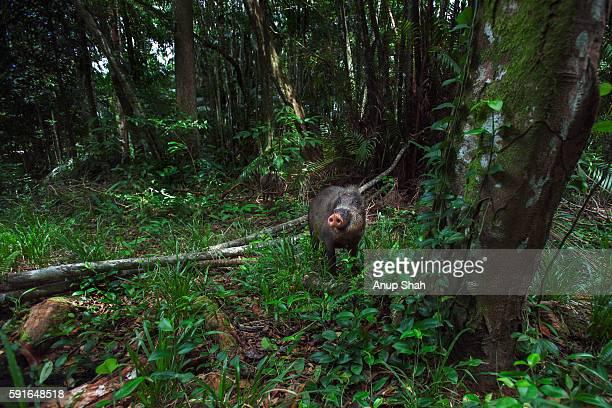 Bearded pig foraging on the rainforest floor