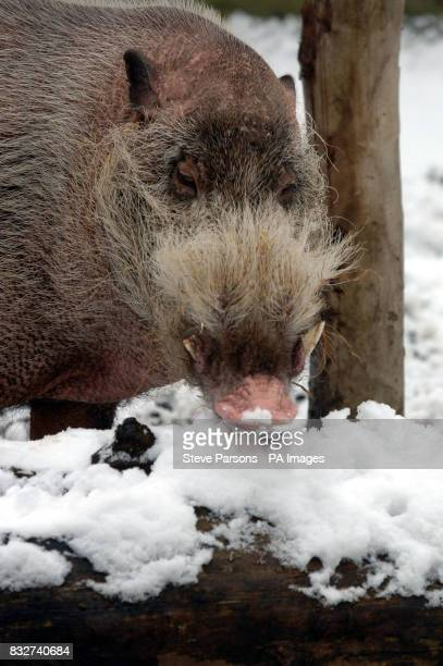 A Bearded Pig in the snow at London Zoo