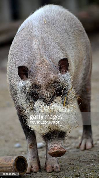 A bearded pig is pictured at the Hellabrunn zoo in Munich southern Germany on April 3 2013 AFP PHOTO / FRANK LEONHARDT GERMANY OUT