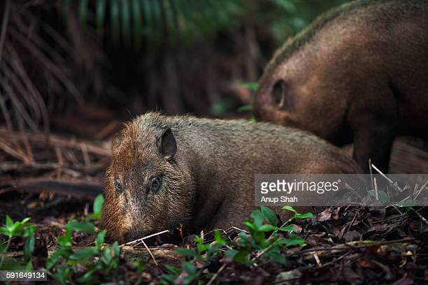 Bearded pig lying down on the forest floor