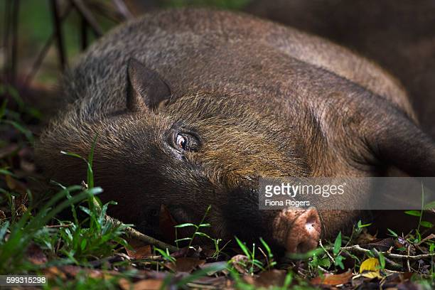 Bearded pig lying down on the forest floor - portrait