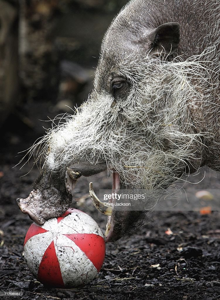 A bearded pig plays with his bank holiday treat at London Zoo on August 24, 2006 in London, England