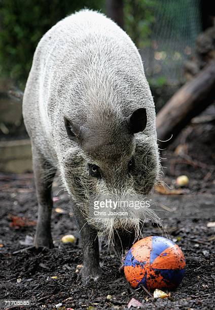 A bearded pig plays with his bank holiday treat at London Zoo on August 24 2006 in London England