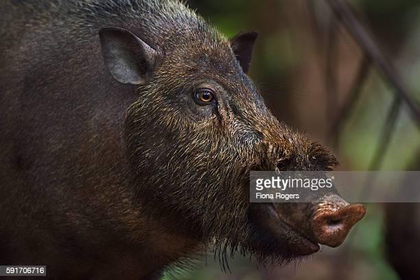 Bearded pig portrait