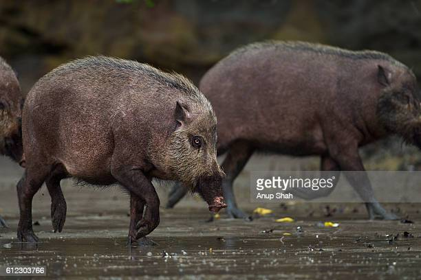 Bearded pig running across the mudflats of a mangrove swamp at low tide