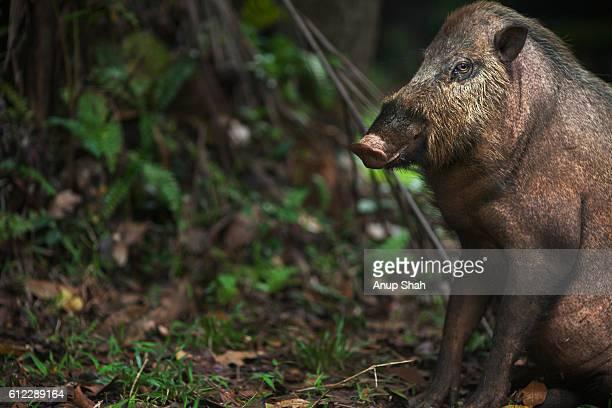 Bearded pig sitting portrait