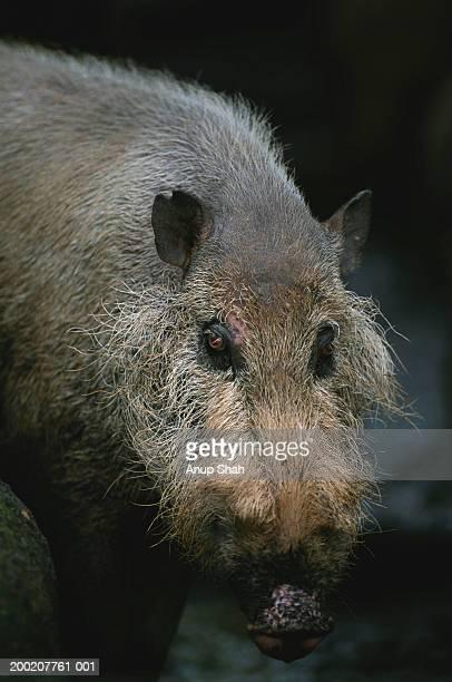 Bearded pig (Sus barbatus) standing, close up, rainforest, S.E.Asia