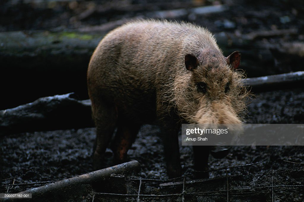 Bearded pig (Sus barbatus) standing, Rainforest, S.E.Asia : Stock Photo
