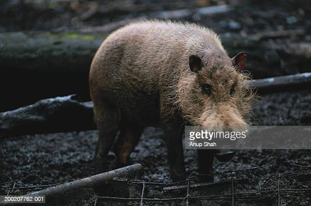 Bearded pig (Sus barbatus) standing, Rainforest, S.E.Asia