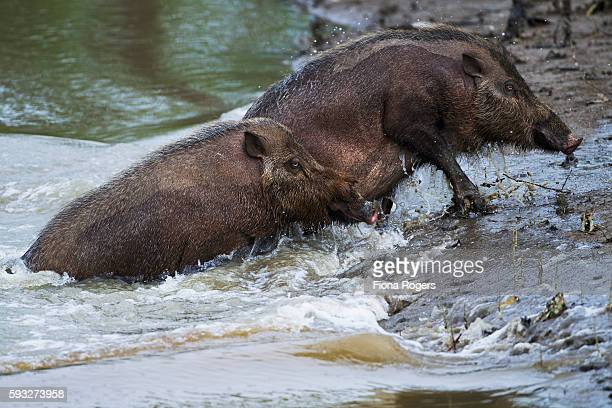 Bearded pigs coming out of the river they have just swam across to get to a new feeding area