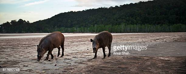 Bearded pigs foraging on the beach at low tide