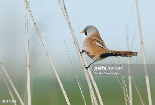 A Bearded Reedling climbing up the reeds.