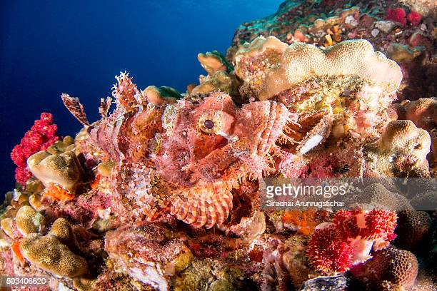 Bearded Scorpionfish (Scorpaenopsis barbata) camouflages in a colourful reef