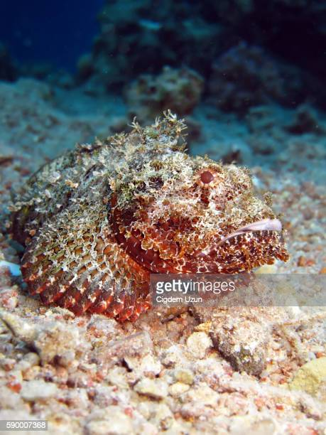 bearded scorpionfish - invertebrate stock photos and pictures