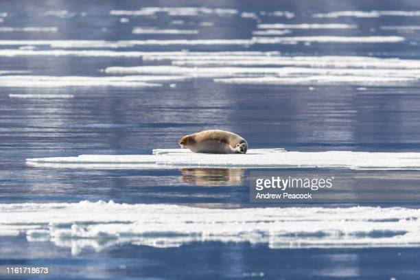 bearded seal on an ice floe - ice floe stock pictures, royalty-free photos & images