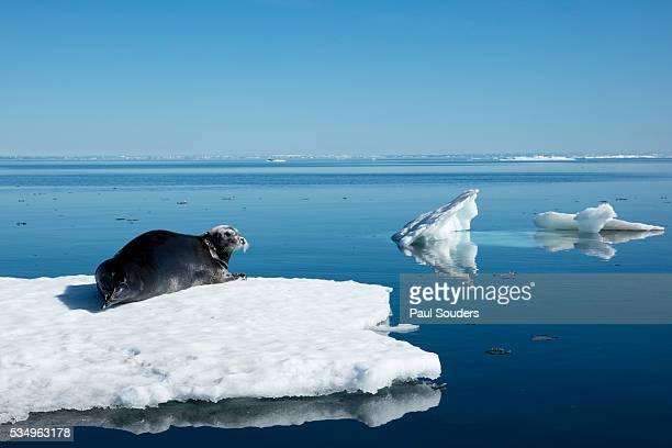 Bearded Seal on Sea Ice in Hudson Bay, Nunavut, Canada