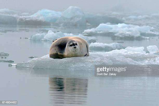 Bearded Seal (Erignathus barbatus) on sea ice