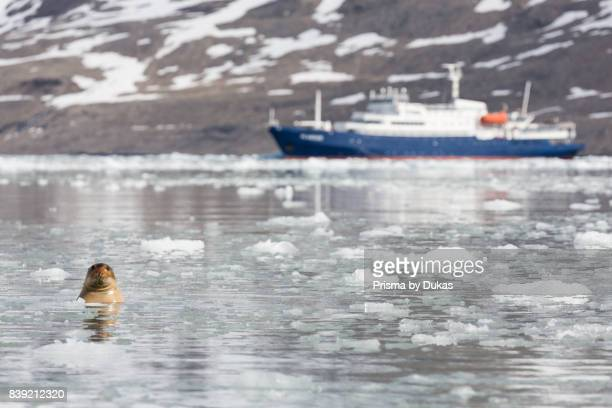 Bearded seal pack ice Spitsbergen Svalbard