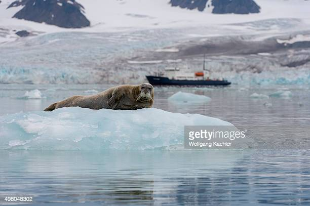 Bearded seal resting on an icefloe at the Lilliehook Glacier in Lilliehookfjorden Svalbard Norway with expedition cruise ship Polar Pioneer in the...