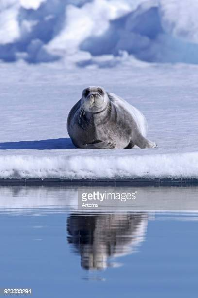 Bearded seal square flipper seal resting on ice floe in the Arctic Ocean Svalbard Spitsbergen Norway