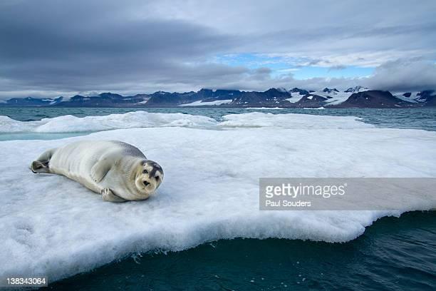Bearded Seal, Svalbard, Norway