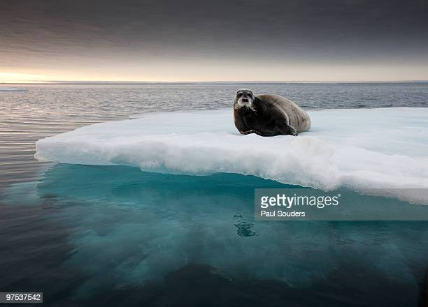 bearded seal, svalbard, norway - ice floe stock pictures, royalty-free photos & images