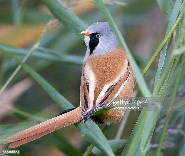 bearded tit in minsmere - wildlife reserve stock photos and pictures