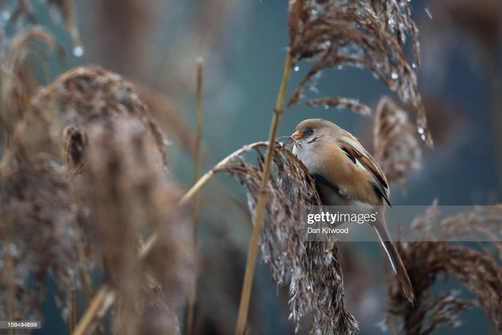 A Bearded Tit perches on a reed amongst the reedbeds in Hyde Park on January 14, 2013 in London, England. The birds, a pair spotted for the first time last week, offer a rare opportunity to see them as this species has never before been seen in inner London. Since their arrival twitchers have flocked to the area for a rare glimpse of the birds,
