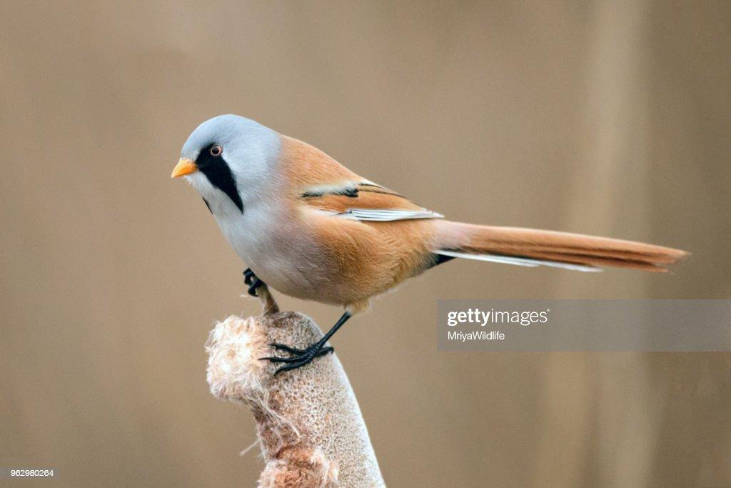 Bearded Tits (Panurus biarmicus) sitting on a cane on beautiful background : Stock Photo
