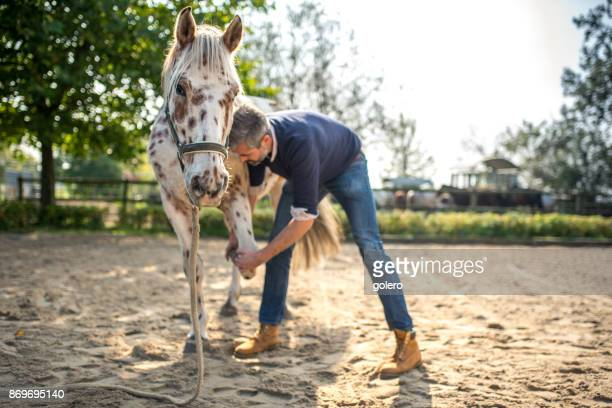 bearded veterinarian examining knappstrupper horse - osteopath stock photos and pictures