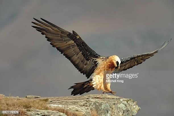 Bearded Vulture adult (Gypaetus barbatus) in flight, Giants Castle Nature Reserve, Drakensberg, Kwazulu-Natal Province, South Africa
