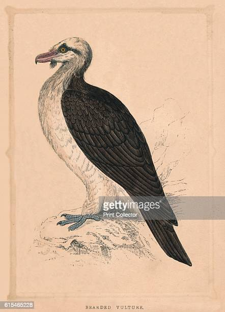 Bearded Vulture' c1850 From Bible Natural History containing a Description of Quadrupeds Birds Trees Plants Insects Etc Mentioned in the Holy...