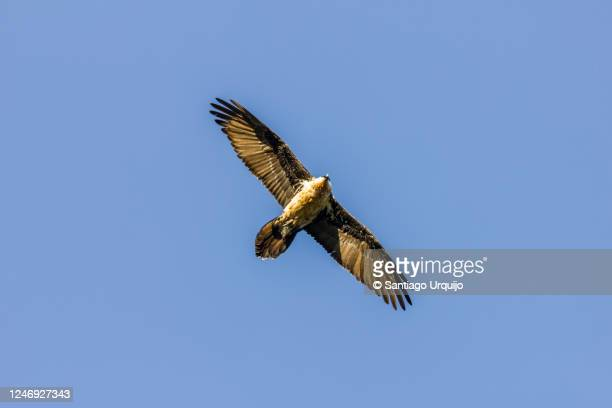 bearded vulture flying directly above - bearded vulture stock pictures, royalty-free photos & images