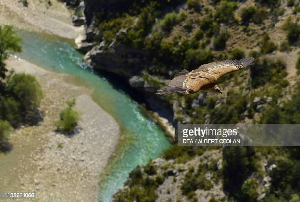 Bearded vulture flying over the Verdon Gorges ProvenceAlpesCote d'Azur France