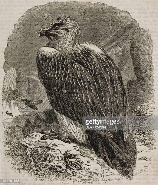 Bearded Vulture illustration from Teatro universale Raccolta enciclopedica e scenografica No 103 June 18 1836