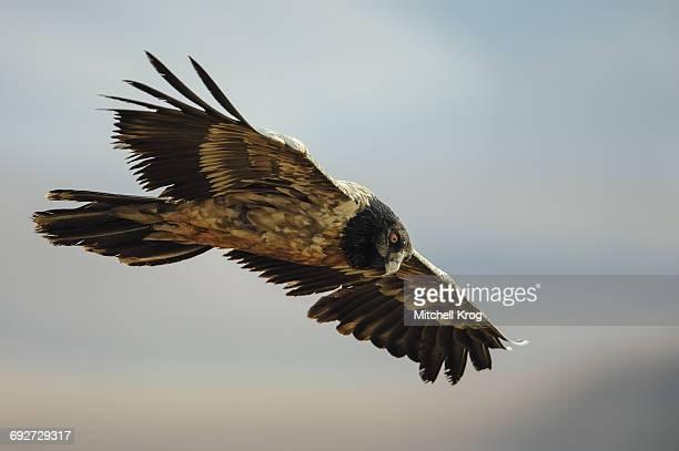 Bearded Vulture juvenile (Gypaetus barbatus) in flight, Giants Castle Nature Reserve, Drakensberg, South Africa