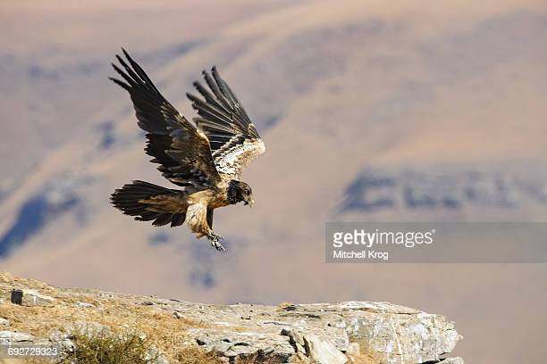 Bearded Vulture juvenile (Gypaetus barbatus) in flight, Giants Castle Nature Reserve, Ukhahlamba Drakensberg Park, South Africa