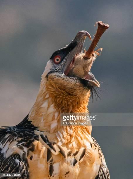 Bearded Vulture Lammergeyer Gypaetus barbatus adult swallowing leg bone including hoof Spanish Pyrenees This bird has the ability to dissolve bones...